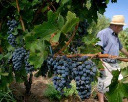 Cooperativas vitivinícolas são menos, mas mais competitivas do que há 20 anos