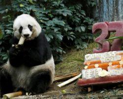 Morreu o urso panda mais velho do mundo